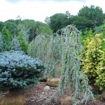 Specialty Conifer selections B&B
